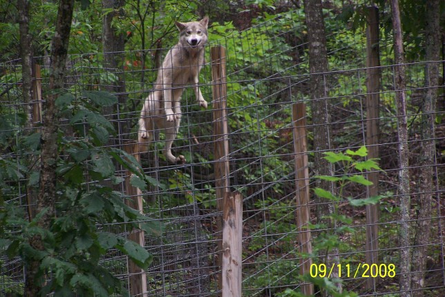 Groups Sue Washington State To Stop Killing Of Wolves